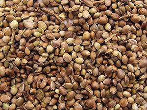 konopljina-semena